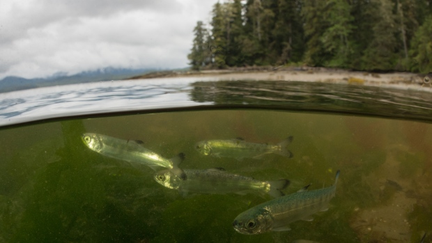 salmon-skeena-estuary